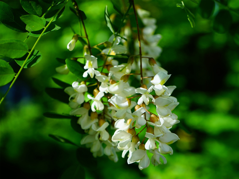 tree-nature-branch-blossom-plant-white-DiosminSupplier-benepure-com